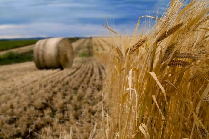 http://inhabitat.com/scientists-develop-salt-tolerant-wheat-that-could-mitigate-global-food-crisis/?wptouch_preview_theme=enabled