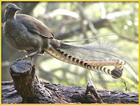 Lyrebird pictures