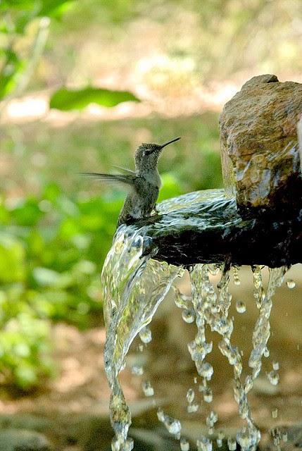Hummingbird bathing and enjoying the water fall