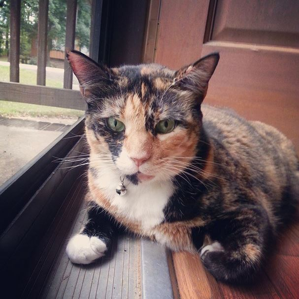 calico, cat, dixie, green eyes