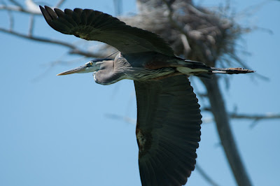 Great Blue Heron, Kountze Lake