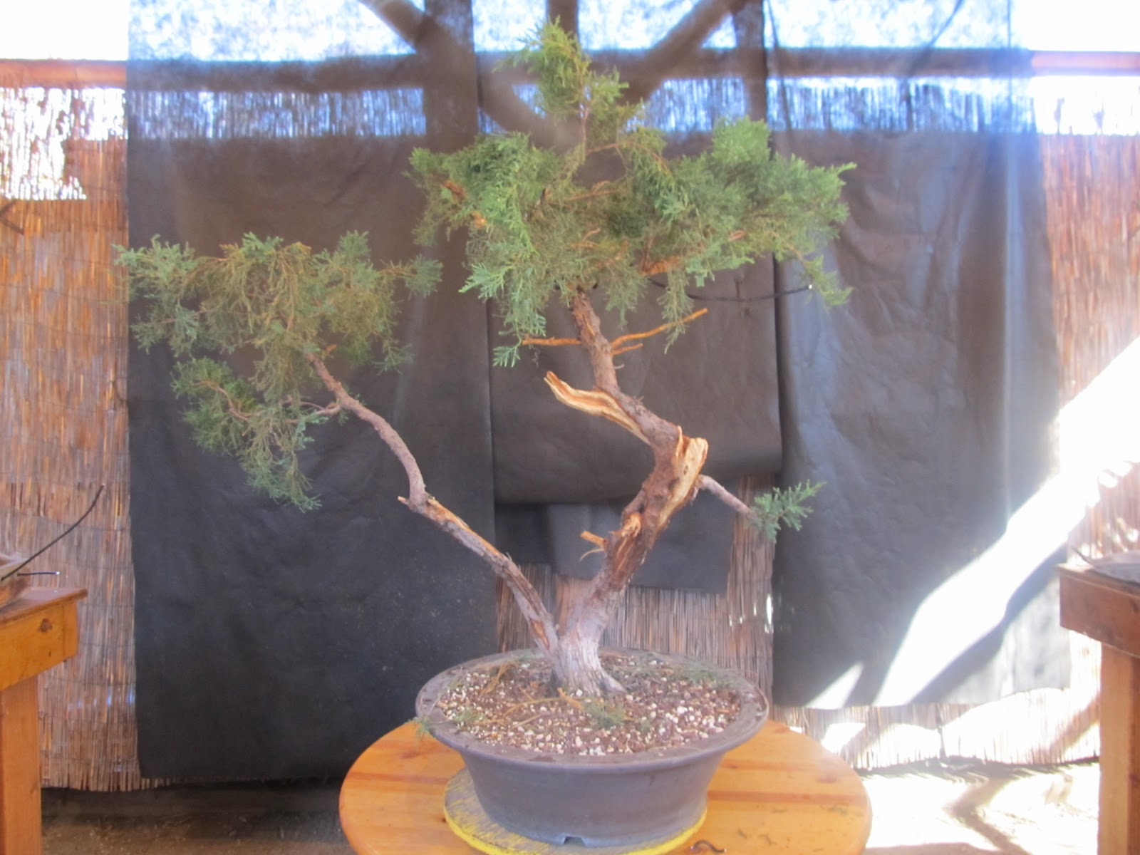 Bonsaibps Bonsai Blog Large Juniper Project Part 3 Wiring Branches The Is Starting To Emerge Next Step Will Be Choose And Place Then Some Fine Well On Our Way A Very Cool