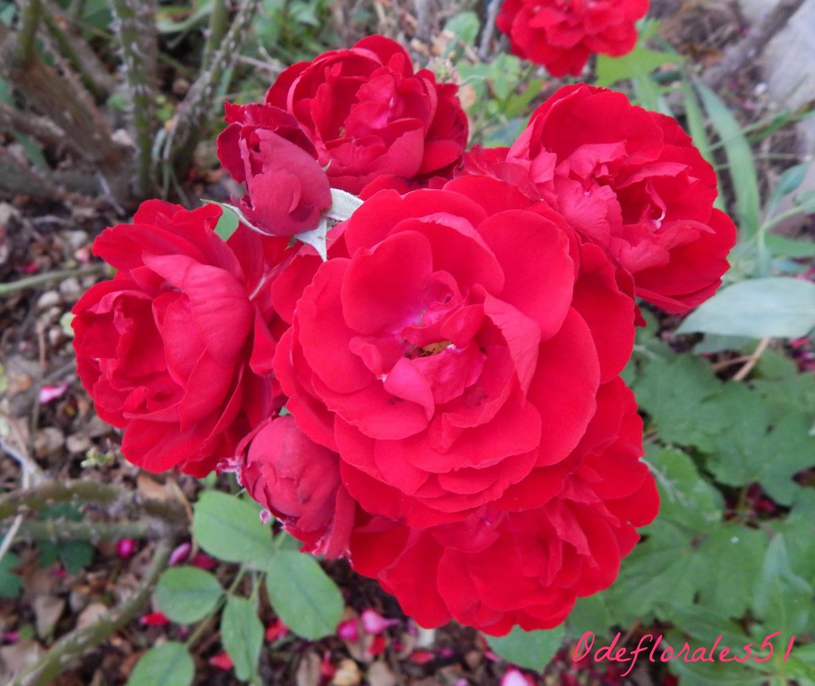 beaut s florales rosa lili marlene. Black Bedroom Furniture Sets. Home Design Ideas