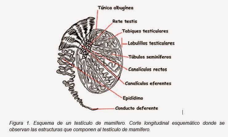 El blog de Mónica: Anatomía del Testículo