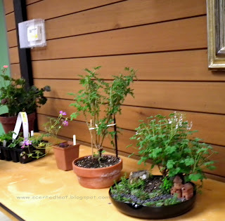 Miniature Garden with Apple Nutmeg Scented Pelargonium exposed at October meeting of the Canadian Geraniums and Pelargoniums Society