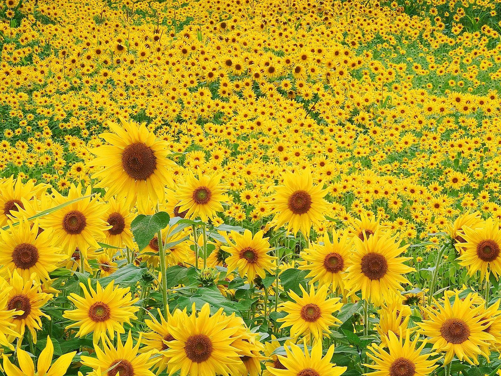 http://1.bp.blogspot.com/-4FefbEJj8XY/TnHUrF-X-PI/AAAAAAAABVk/h7Sd14a0oCU/s1600/1000s+Sun+Flowe.jpg