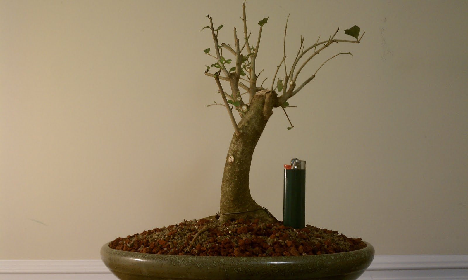 Bodhisattva Bonsai Privet Enters Into A New Future As Bonsai