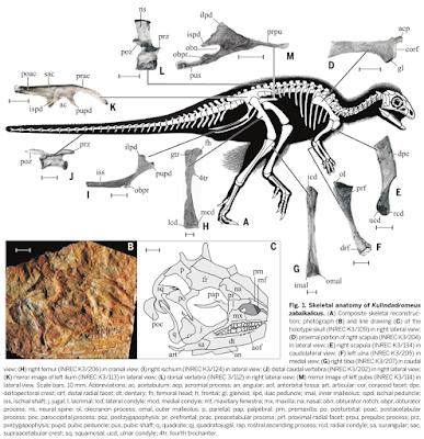 Kulindadromeus skeleton