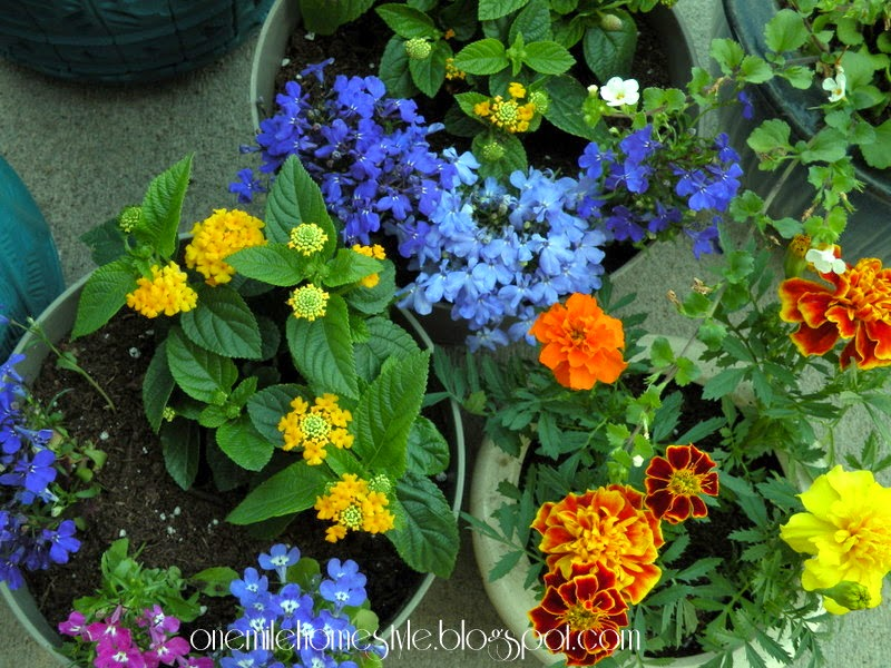 Marigolds, Golden Yellow Lantana and Lobelia