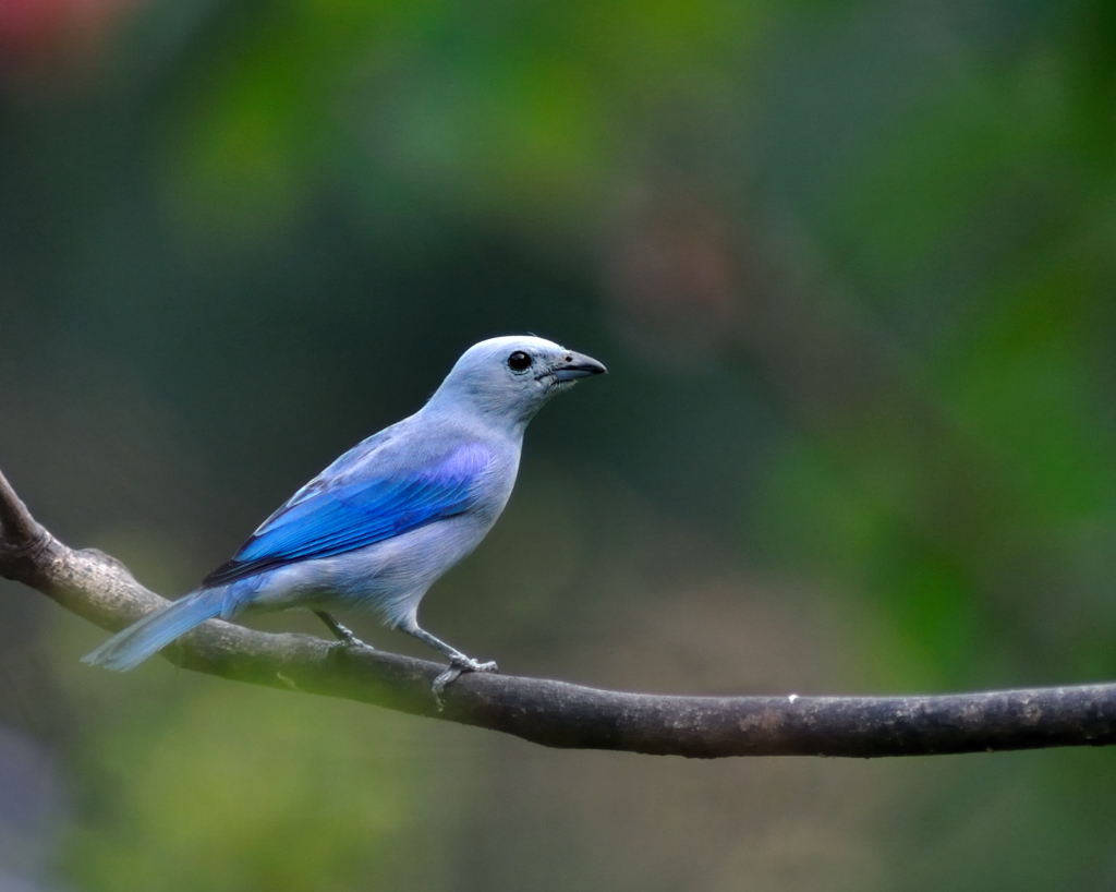 Blue Grey Tanager Thraupis Episcopus Ryan Maigan Birds