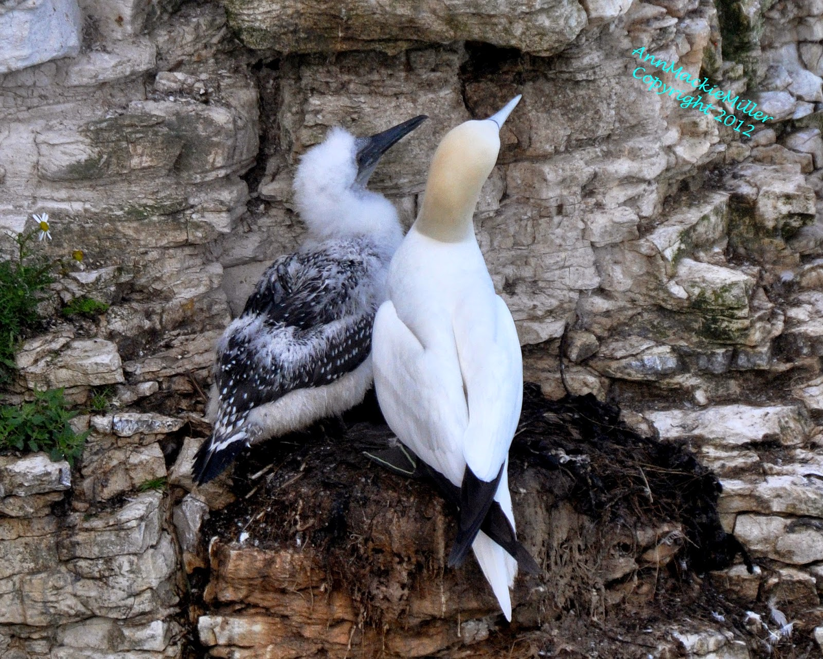 Adult Gannet with Gannet Chick on Cliff Edge Nest
