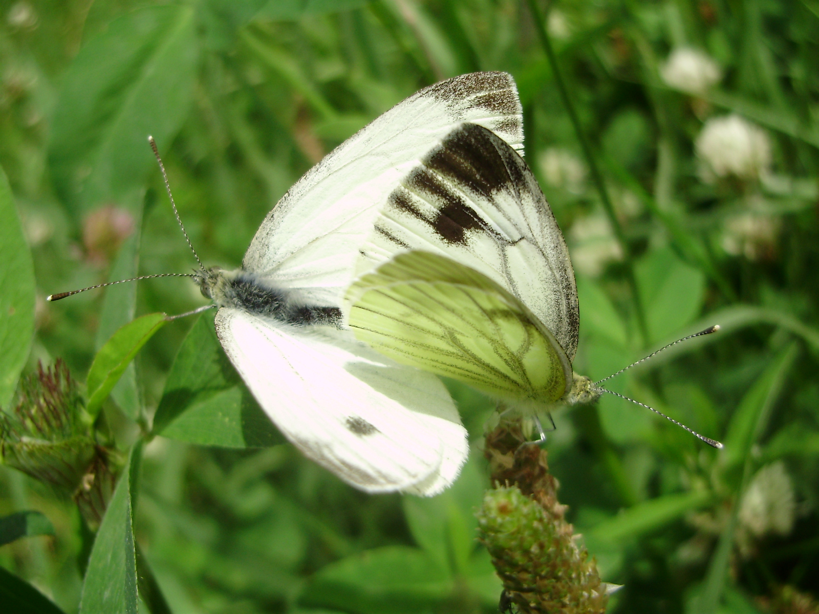 Pareja de mariposas Pieris napi en copula