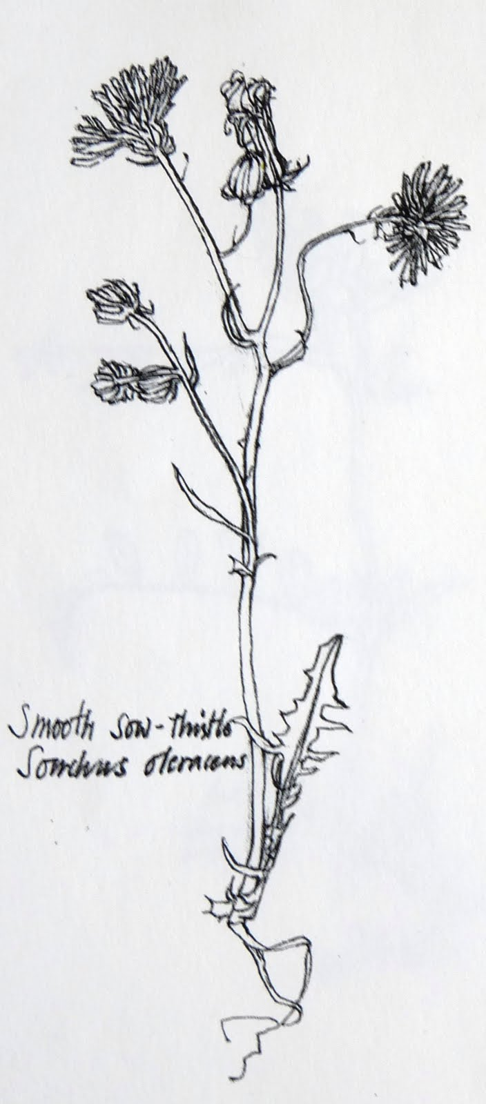 Botanical Flower Line Drawing : Tolpuddle martyr french wild flower botanical drawings