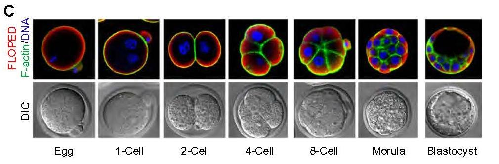 Desarrollo in vitro de un óvulo fecundado hasta la mórula y blastocisto
