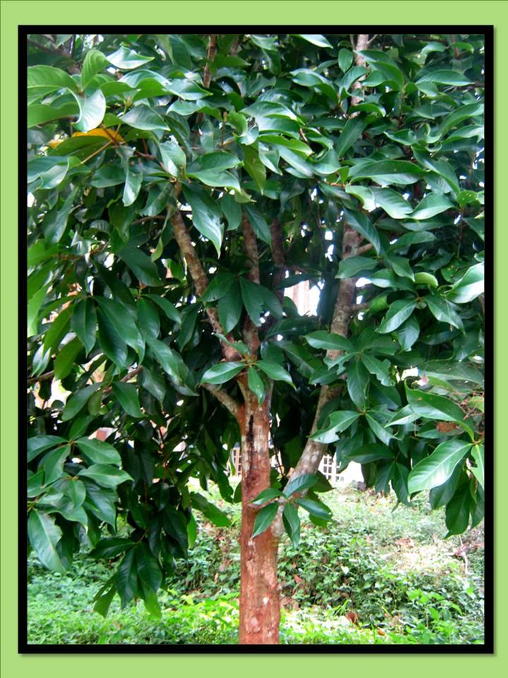 klasifikasi tumbuhan berbiji jambu dersono syzygium