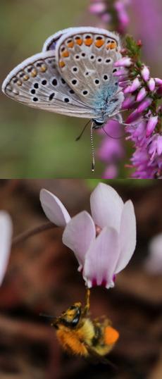 ✿ Fleurs du mois : Callune & Cyclamen
