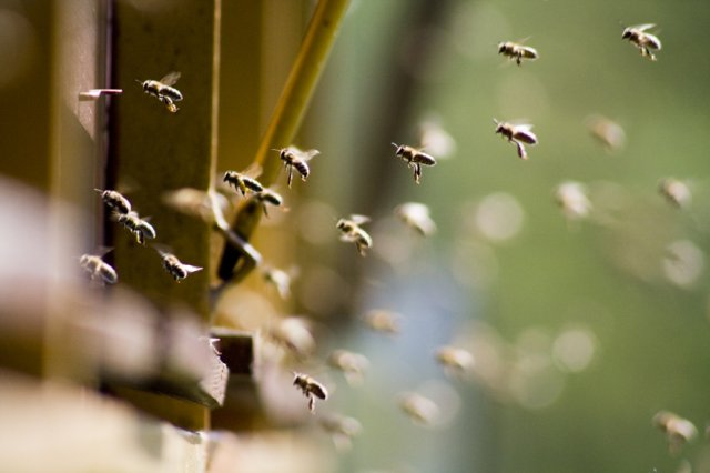 honey bees in flight near hive truck