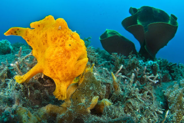 An orange painted frogfish (Antennarius pictus)