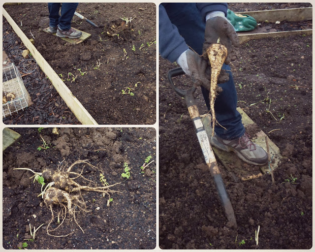 Digging up the parsnips - Grow Our Own