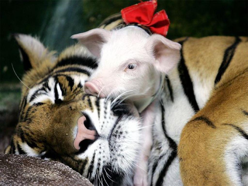 http://1.bp.blogspot.com/-4JyhhpsCYjA/T9hkJZZQH3I/AAAAAAAACK8/lVmfcC14O-s/s1600/Pigs%20picture.jpg