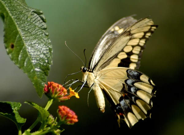 HD Butterfly Images for Mobile Phones
