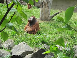 Orangutang Dublin Zoo