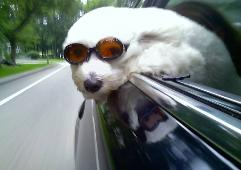 Havanese dog wearing doggles - from royal flush havanese in rhode island