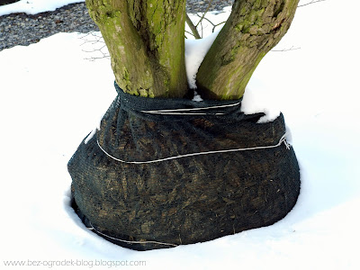 jak zabezpieczyć drzewa na zimę
