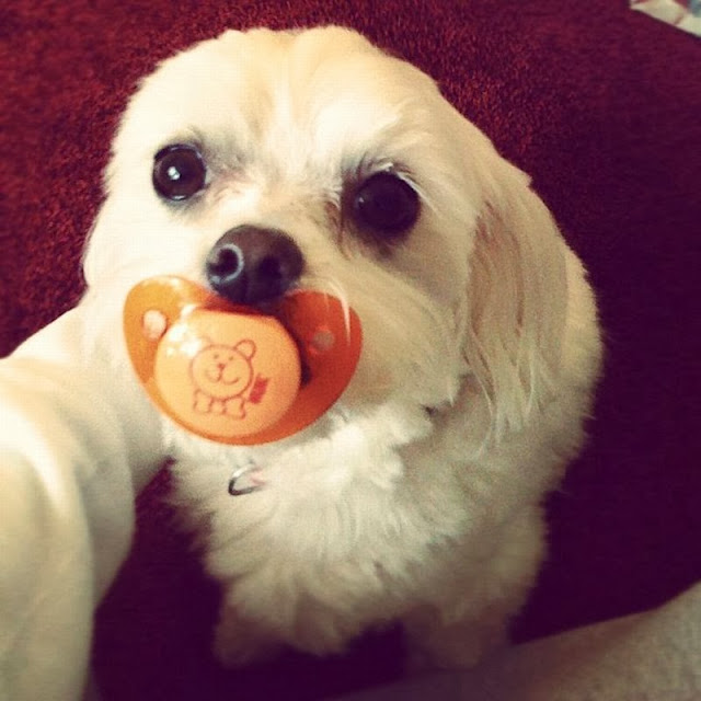 Cute dogs - part 3 (50 pics), cute dog sucks a pacifier