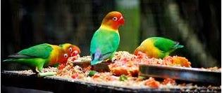 Cara merawat love bird yang benar
