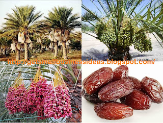 Date Palm Farming Business