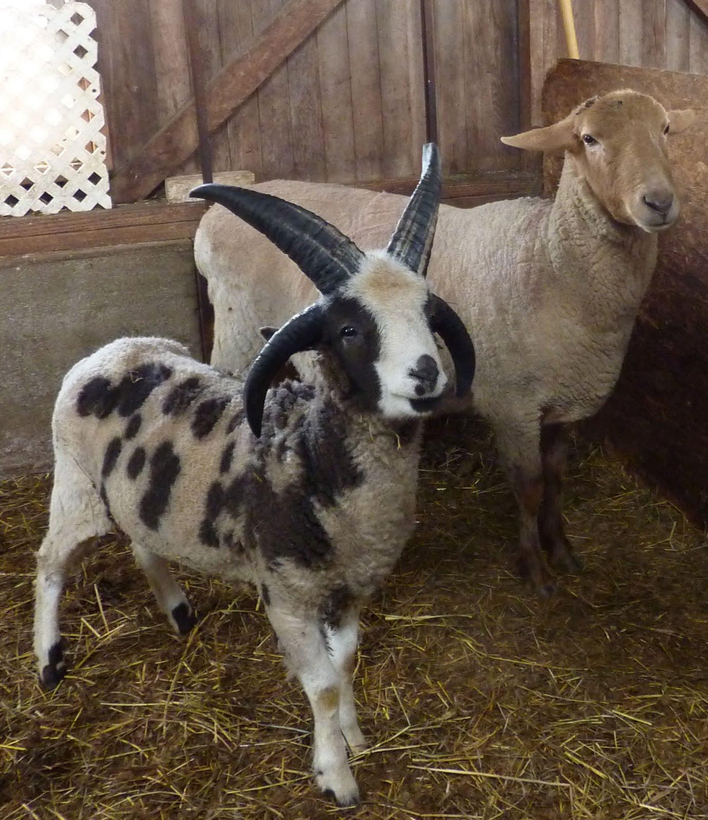 oldest us sheep breeds