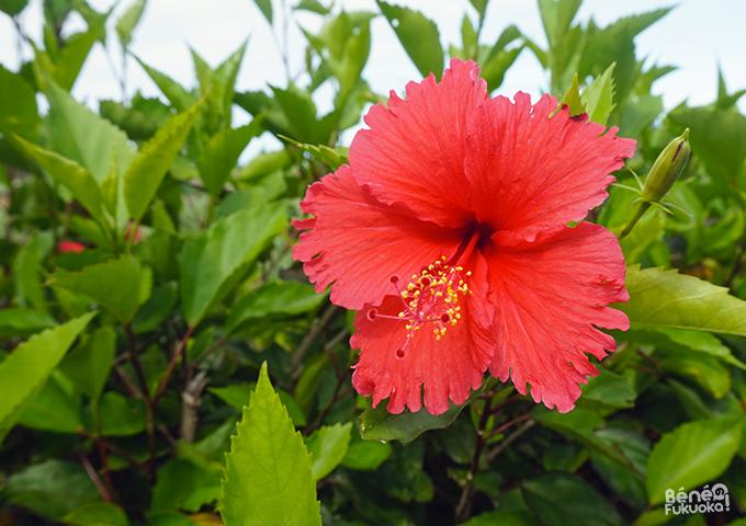 Hibiscus à Ikemajima, Okinawa