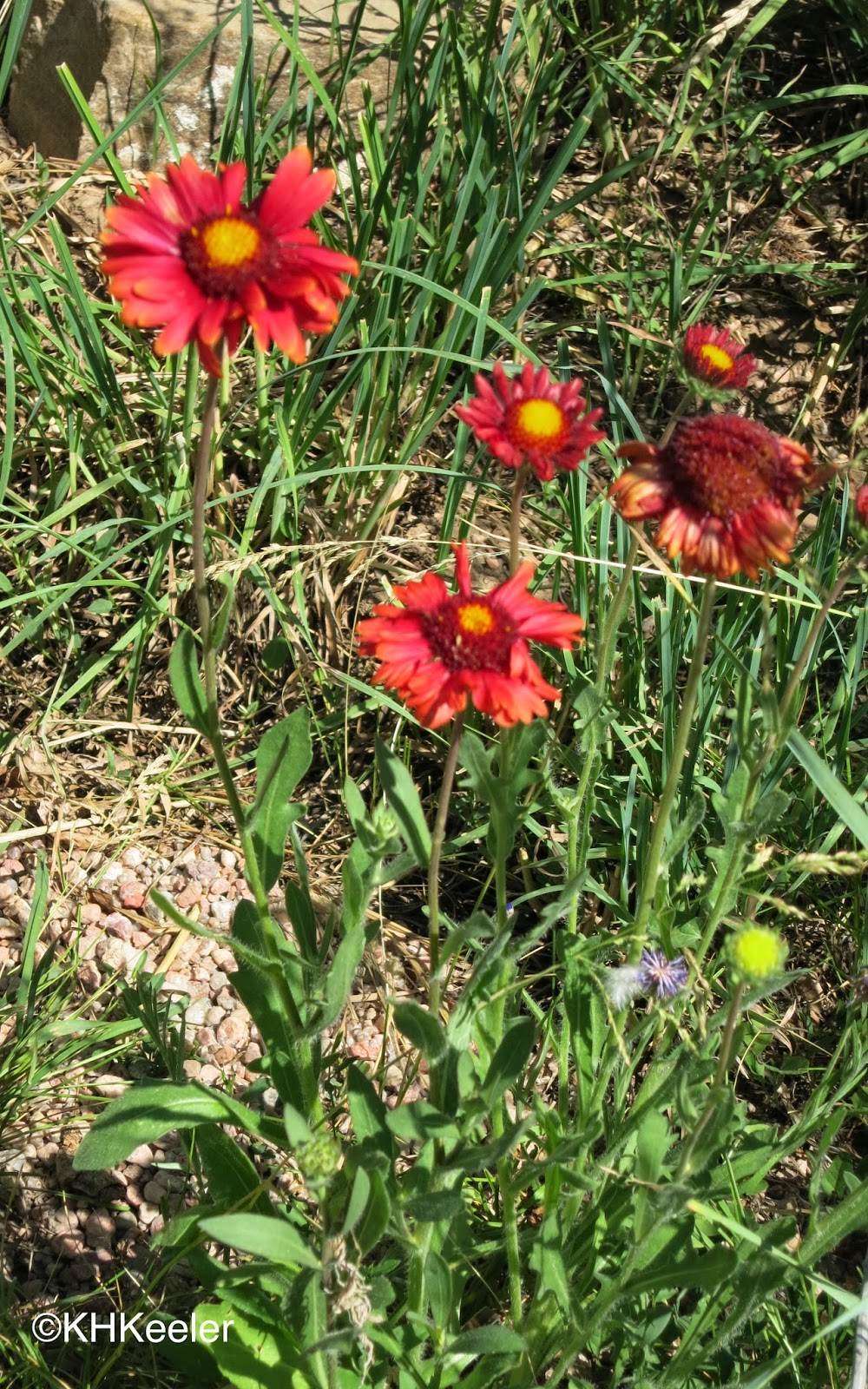 A Wandering Botanist Plant Story Beautiful Blanket Flower Gaillardia