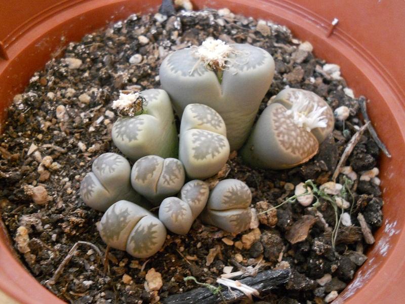 Plantas para hombres Lithops aucampiae cactus piedra