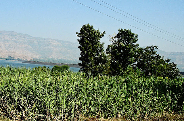 pretty sugarcane fields