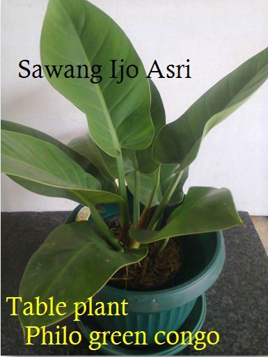sewa tanaman pot kecil | Phillo green congo