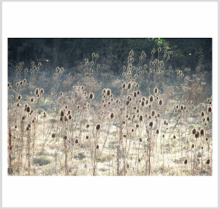 halos, teasel art, teasels with halos, field limited editions, laura hol art