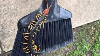 http://www.kxly.com/news/giant-texas-redheaded-centipede-has-internet-squirming/34014828