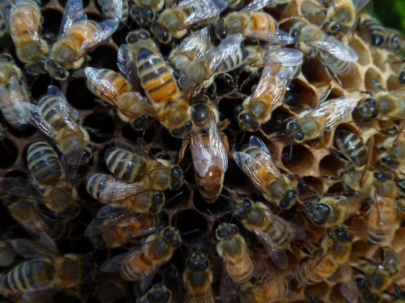 honey bee lavendar nectar wallpapers - Honey Bee Lavender Nectar Ewallpapers Hub