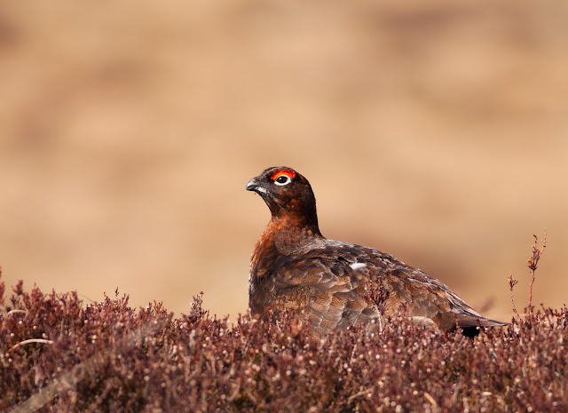 Red Grouse, Lochindorb