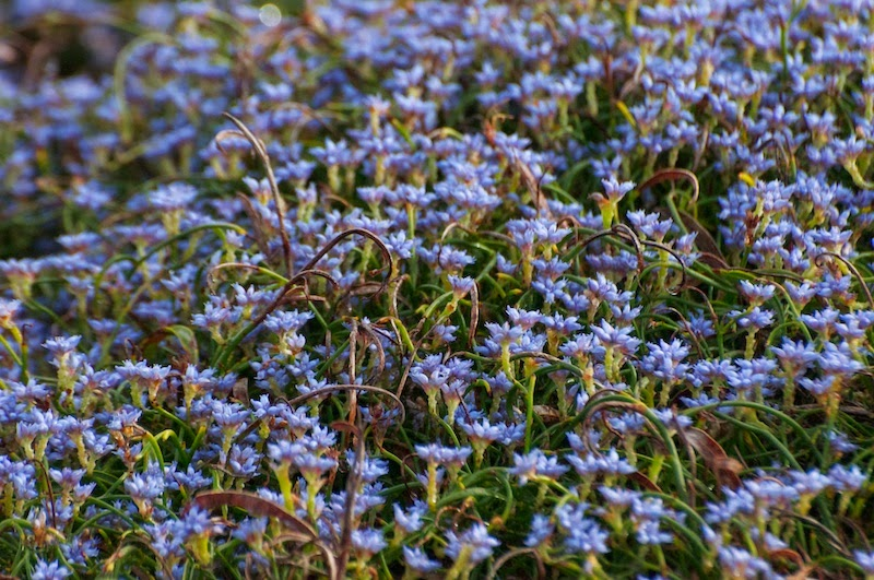 Blue Smokebush (Conospermum caeruleum)