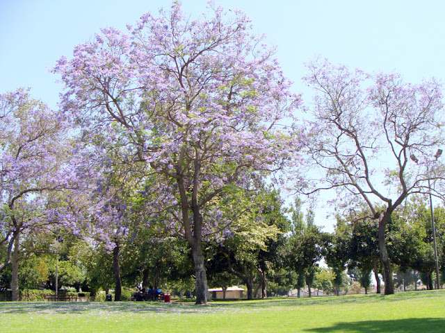 Jacarandas in bloom in Anaheim via The Sunshine Grove