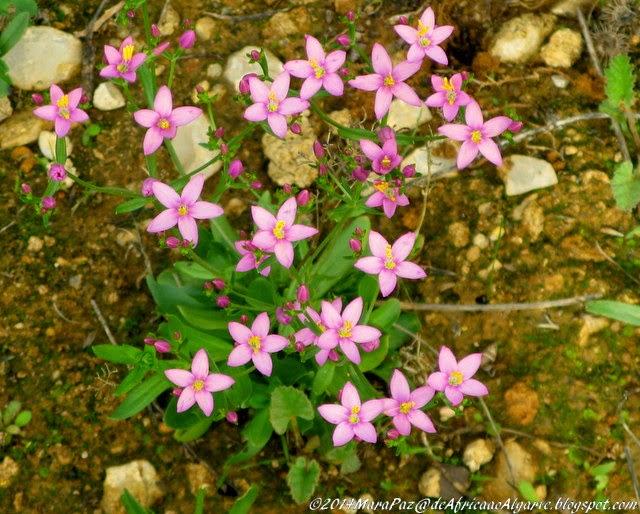 small pink wildflowers, Algarve