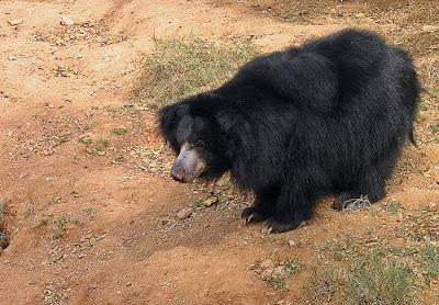 [Image: Beruang%2Bdari%2BMysore.jpg]