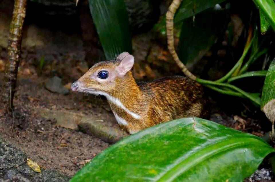 Lesser deer mouse