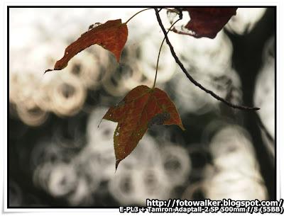 大棠 紅葉