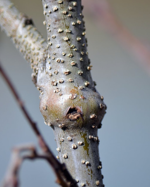Alder stem gall caused by the larva of the Alder Gall Buprestid - Eupristocerus cogitans