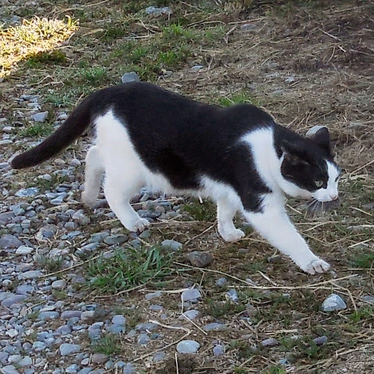 Harry the Farm cat with mouse, #HillsPet, #spon