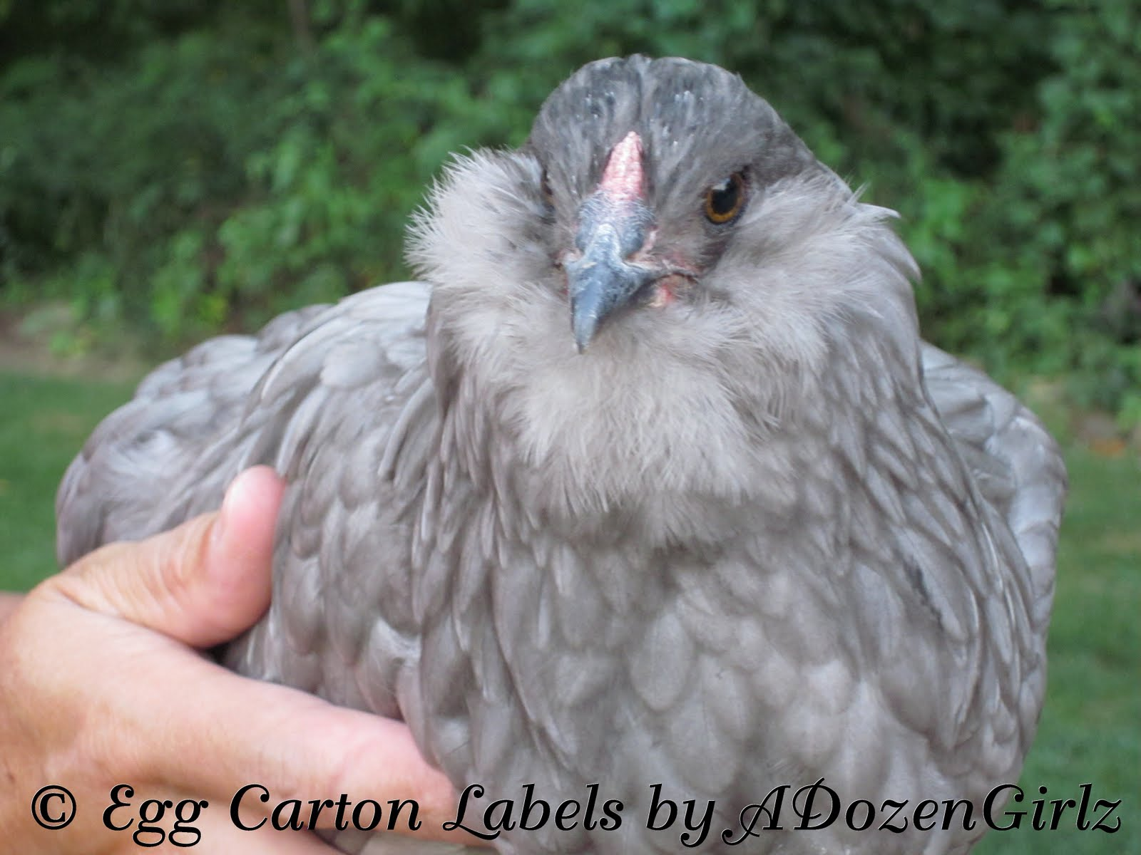 http://www.araucana.net/images/ACA_Images/Araucana_Alan_Stanford_Article.pdf